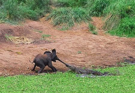 к счастью,слонёнок остался жив.