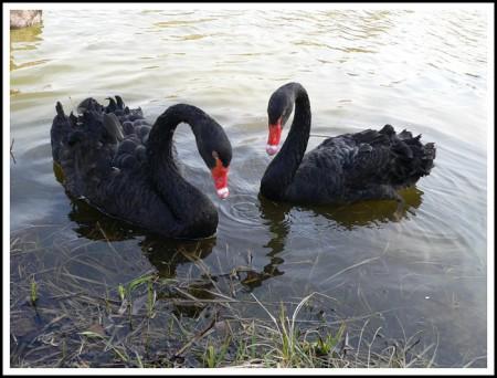 Любовь и лебеди.