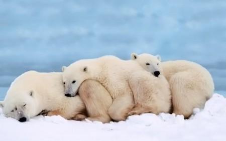 Белые полярные медведи.