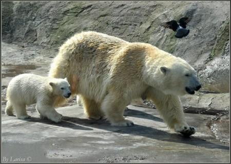 Белые медведи.