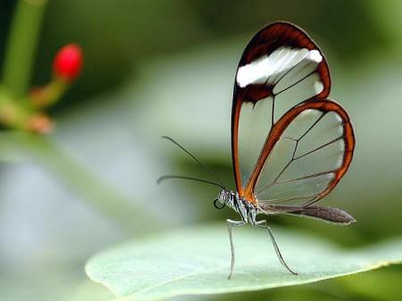 бабочка стеклянная